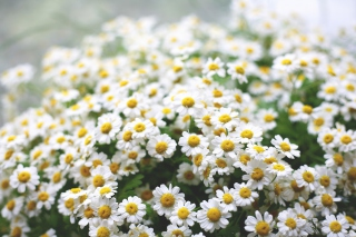 Field Of Daisies Macro Wallpaper for Android, iPhone and iPad