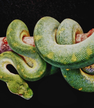 Snake Year - Obrázkek zdarma pro 320x480
