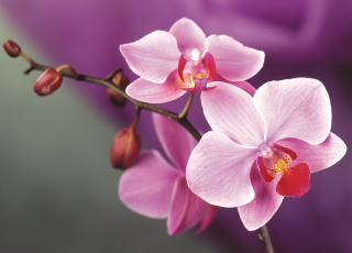 Orchid Wallpaper for Android, iPhone and iPad