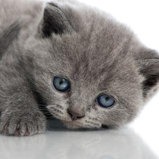 Melancholic blue eyed cat - Obrázkek zdarma pro 1024x1024