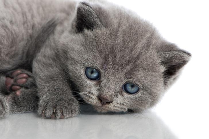 Melancholic blue eyed cat wallpaper