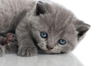 Melancholic blue eyed cat - Obrázkek zdarma pro Samsung Google Nexus S