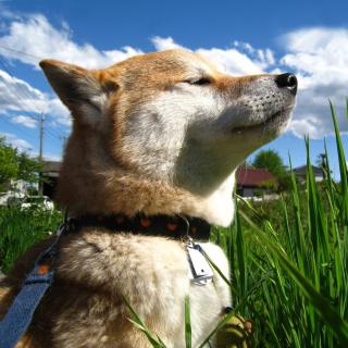 Akita Inu Dog - Obrázkek zdarma pro 2048x2048