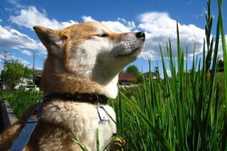Akita Inu Dog - Obrázkek zdarma pro Samsung Galaxy Tab 3