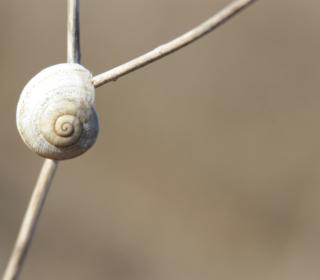 White Shell Of Snail - Obrázkek zdarma pro iPad 3