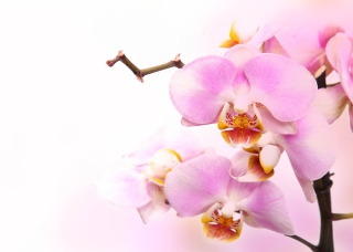 Free Pink Orchid Picture for Android, iPhone and iPad