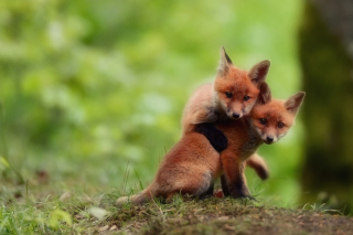 Two Little Foxes Wallpaper for Android, iPhone and iPad