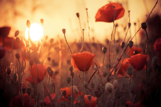 Poppies At Sunset Wallpaper for Android, iPhone and iPad