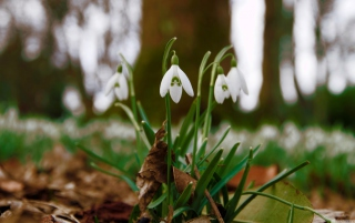 Snowdrops In Queens Park Scotland Wallpaper for Android, iPhone and iPad