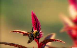 Bee On Pink Flower Wallpaper for Android, iPhone and iPad