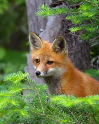 Little Fox Kid - Obrázkek zdarma pro Nokia Asha 503
