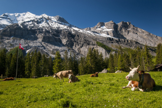 Switzerland Mountains And Cows Wallpaper for Android, iPhone and iPad