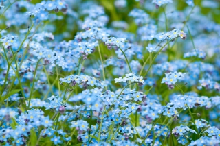 Free Forget Me Nots Picture for Android, iPhone and iPad