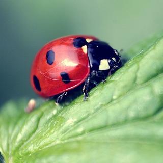 Beautiful Ladybug Macro - Obrázkek zdarma pro iPad