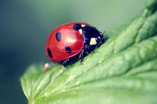 Beautiful Ladybug Macro - Obrázkek zdarma pro LG P500 Optimus One