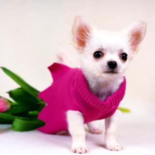 Great Chihuahua - Obrázkek zdarma pro 320x320