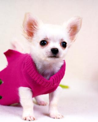 Great Chihuahua - Obrázkek zdarma pro Nokia Asha 502