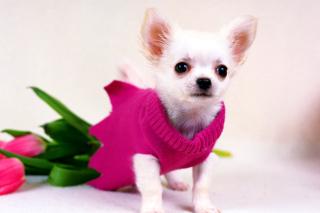 Great Chihuahua - Obrázkek zdarma pro Android 480x800
