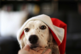 Dog In Santa's Hat Picture for Android, iPhone and iPad