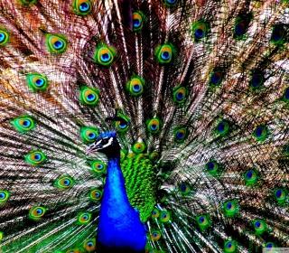 Peacock - Obrázkek zdarma pro iPad mini