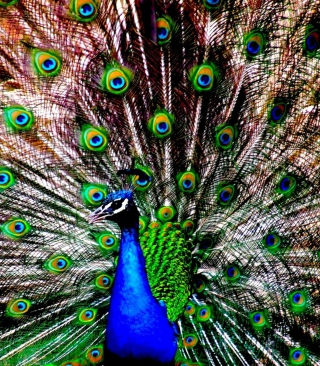 Peacock - Obrázkek zdarma pro Nokia Lumia 822