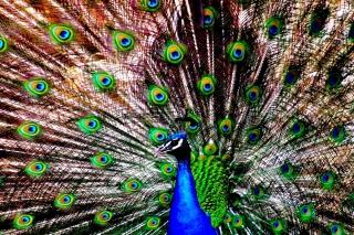 Peacock - Obrázkek zdarma pro LG P970 Optimus