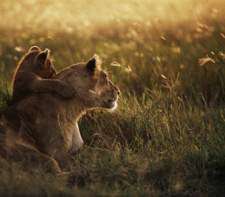 African Lion - Obrázkek zdarma pro 1024x1024