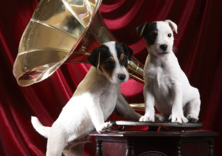 Appenzeller Dog Pups Background for Android, iPhone and iPad