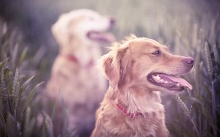 Golden Retriever Wallpaper for Android, iPhone and iPad