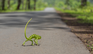 Chameleon Walk Picture for Android, iPhone and iPad