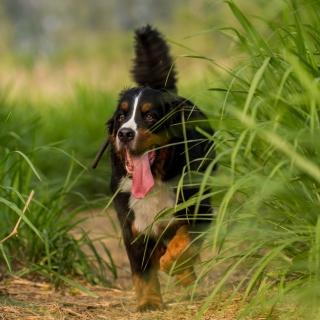 Big Dog in Grass - Obrázkek zdarma pro 2048x2048