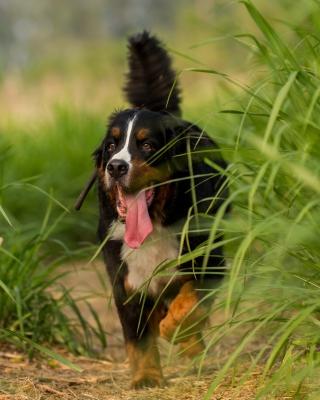 Big Dog in Grass - Obrázkek zdarma pro Nokia Asha 308