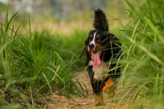 Free Big Dog in Grass Picture for Android, iPhone and iPad