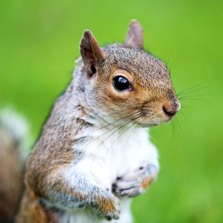 Squirrel - Obrázkek zdarma pro 128x128