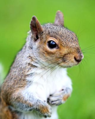 Squirrel - Obrázkek zdarma pro Nokia Asha 503