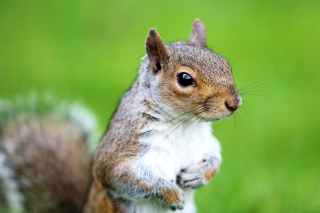 Squirrel - Obrázkek zdarma pro Samsung Galaxy Tab 3