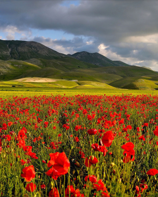 Poppy Field - Obrázkek zdarma pro 480x854
