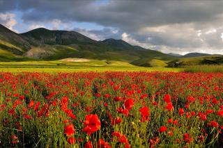 Poppy Field - Obrázkek zdarma pro HTC Desire HD