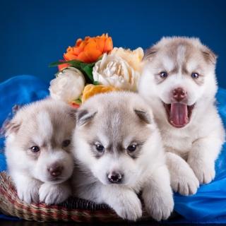 Husky Puppies - Obrázkek zdarma pro 128x128