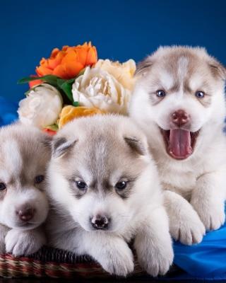 Husky Puppies Wallpaper for Samsung SGH-T528G