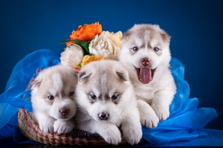 Husky Puppies Background for Android, iPhone and iPad