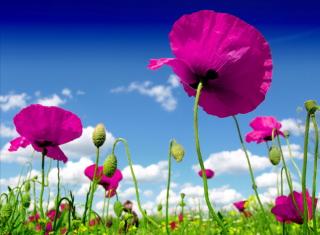 Poppy Field - Obrázkek zdarma pro Desktop 1280x720 HDTV