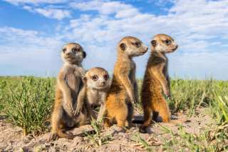 Free Suricates Picture for Android, iPhone and iPad