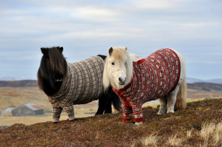 Shetland Ponies Background for Android, iPhone and iPad
