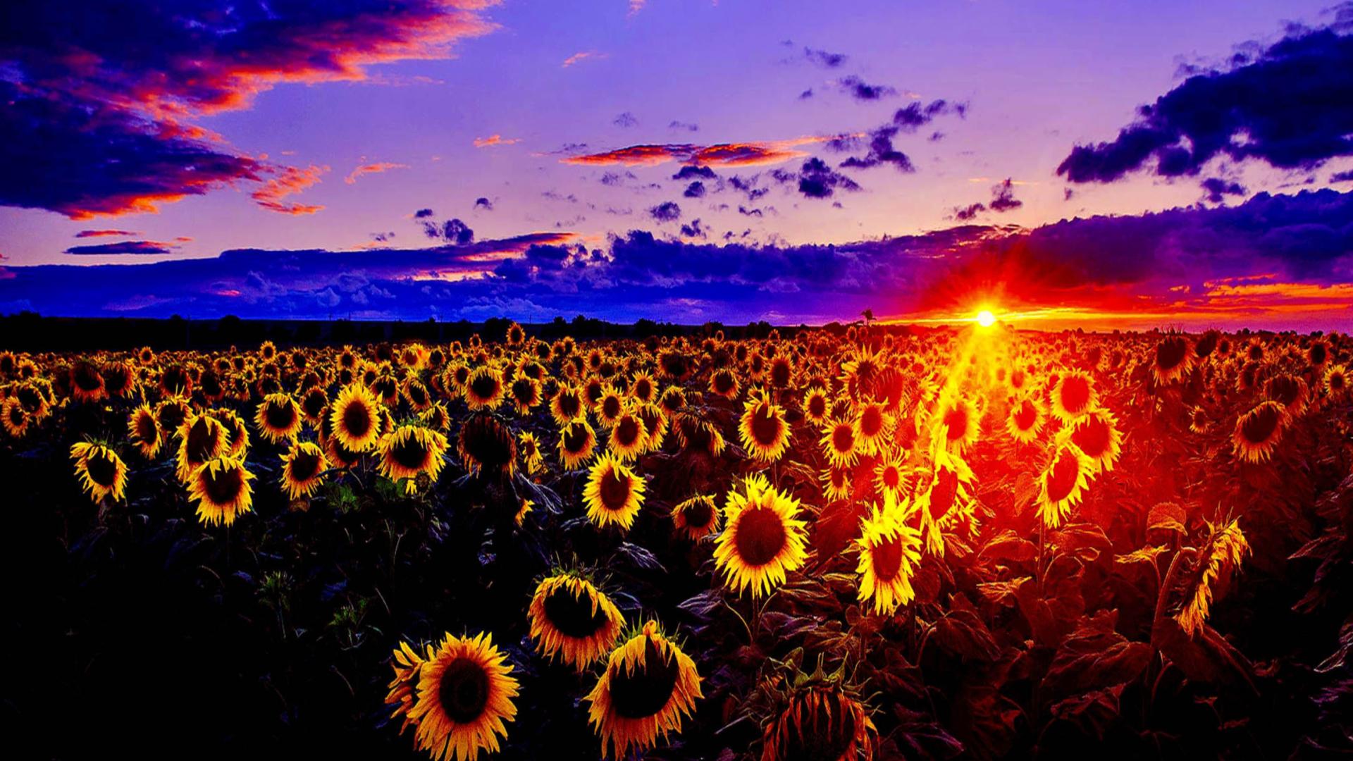 Sunflowers fondos de pantalla gratis para escritorio for Fondos de escritorio full hd