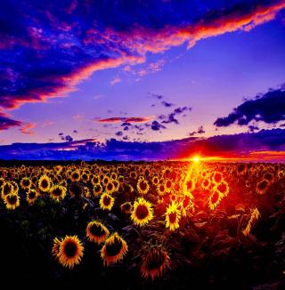 Sunflowers - Obrázkek zdarma pro iPad Air