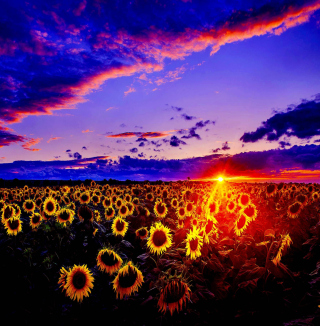 Sunflowers - Obrázkek zdarma pro 320x320