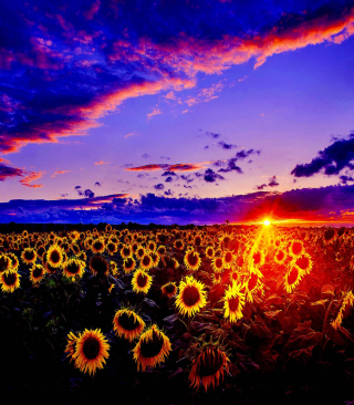 Sunflowers - Obrázkek zdarma pro Nokia C1-00
