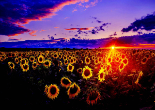 Sunflowers - Obrázkek zdarma pro HTC Desire HD