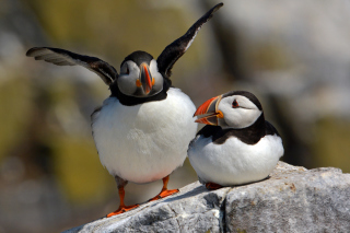 Cute Puffins Picture for Android, iPhone and iPad
